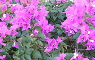 As a dissociative survivor, I am as resilient as this bougainvillea found in the Caribbean