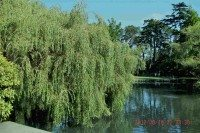This full grown weeping willow thrives near a pond. If abuse survivors cry they too, thrive. Their weeping, often goes unheard